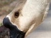 Watchful Goose