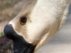 Goose close-up.