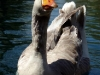 Hungry goose